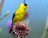 Goldfinch, American