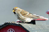 Redpoll, Common (Yellow Phase)