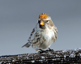 Redpoll, Common (Yellow Phase)