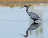 Heron, Little Blue