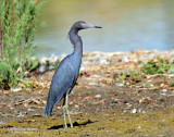 Heron, Little Blue