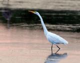 Egret, Great