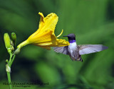 Hummingbird, Black-chinned (Aug. 21, 2014)