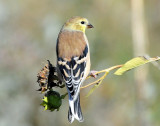 Goldfinch, American (non-breeding)