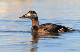 Scoter, White-winged (Nov. 11, 2014)