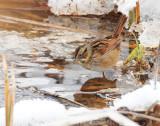 Sparrow, Swamp