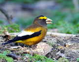 Grosbeak, Evening