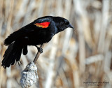 Blackbird, Red-winged (2015)