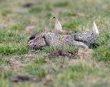 Grouse Sharp-tailed D-501.jpg