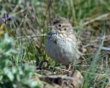 Sparrow Vesper D-201.jpg