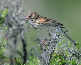 Sparrow Vesper D-203.jpg
