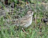 Sparrow Vesper D-2031.jpg
