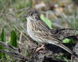Sparrow Vesper D-204.jpg