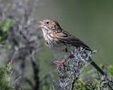 Sparrow Vesper D-205.jpg
