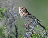 Sparrow Vesper D-206.jpg