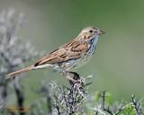 Sparrow Vesper D-207 copy.jpg