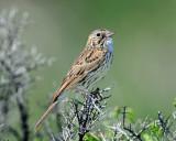 Sparrow Vesper D-208.jpg