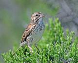 Sparrow Vesper D-209.jpg