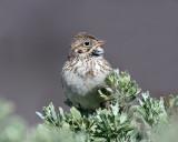 Sparrow Vesper D-2081.jpg