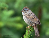 Sparrow, Lincoln's ( May 25, 2015) In the rain