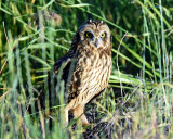 Owls, Short-eared