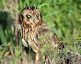 Owls, Short-eared