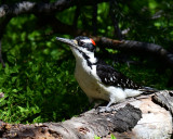 Woodpecker, Hairy
