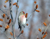 Redpoll, Common (11/29/2015 & 12/11/2012)