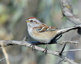 Sparrow, American tree (Dec 12, 2015)