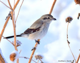 Northern Shrike and Western Meadowlarks