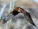 Harrier, Northern