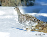 Grouse, Sharp-tailed (Jan 28, 2016)