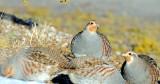 Partridge, Gray