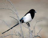 Magpie Black-billed D-110.jpg