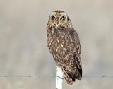 Owls, Short-eared (Dancing)