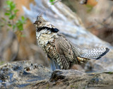 Grouse, Ruffed (Drumming)