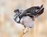 Hawk Owl, Northern