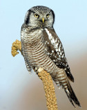 Hawk Owl, Northern