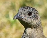 Partridge. Grau 594006840 10.jpg