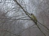 Woodpeckers, Hackspettar