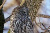 Chouette lapone - Great gray-owl