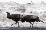 Dindons sauvages - Wild turkeys