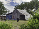 A barn in disrepair and the cow that lives there.