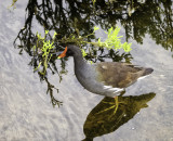 Common moorhen or Gallinule