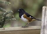 Eastern Towhee (Adult, Red-eyed)