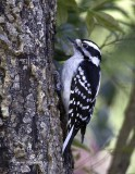 Downy Woodpecker (F)