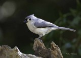 Tufted Titmouse (Northern)
