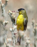 Lesser Goldfinch (Bright Adult)