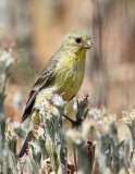 Lesser Goldfinch (Pale Adult)