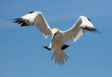 NorthernGannet